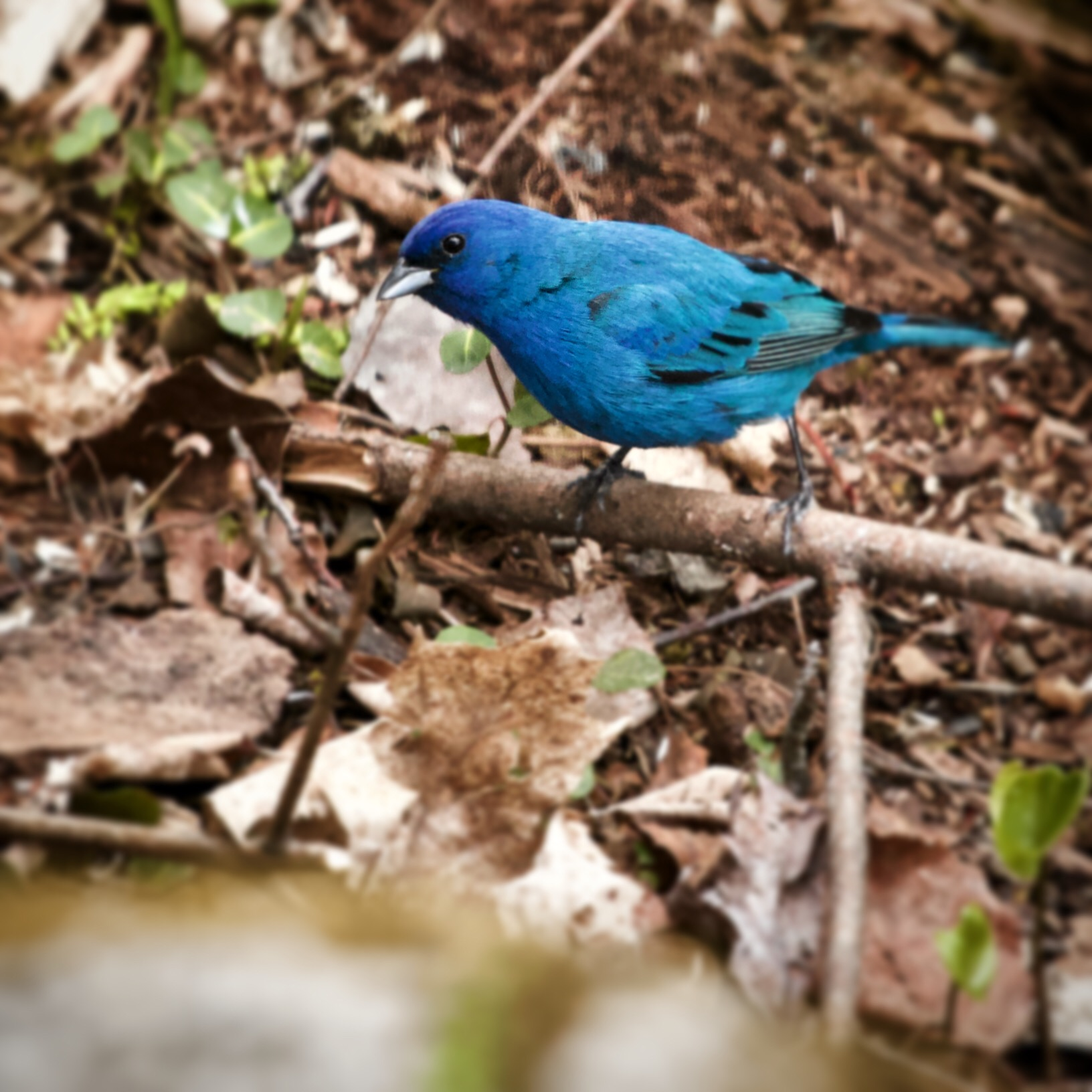 An Indigo Bunting scratching around for fallen seeds just outside the cabin window.